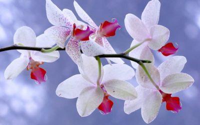 Dicas de como cuidar de orquídeas